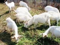 沿河白山羊