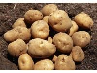 呼兰马铃薯
