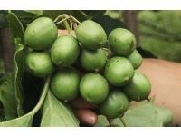 本溪软枣猕猴桃