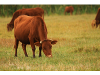 乌审草原红牛