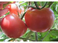 喀喇沁番茄