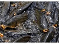 河套黄河鲤鱼
