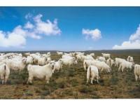 巴彦淖尔二狼山白绒山羊