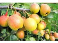 喀喇沁苹果梨