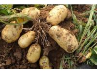 固阳马铃薯