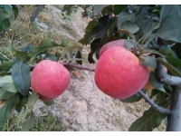 沙坡头苹果