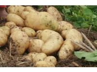 平安马铃薯