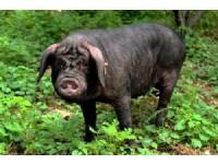 枣庄黑盖猪