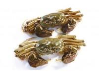 麻大湖毛蟹