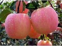 新疆兵团五团苹果