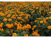 新疆兵团八十四团色素菊花