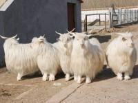 日土白绒山羊