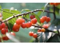 诸暨短柄樱桃